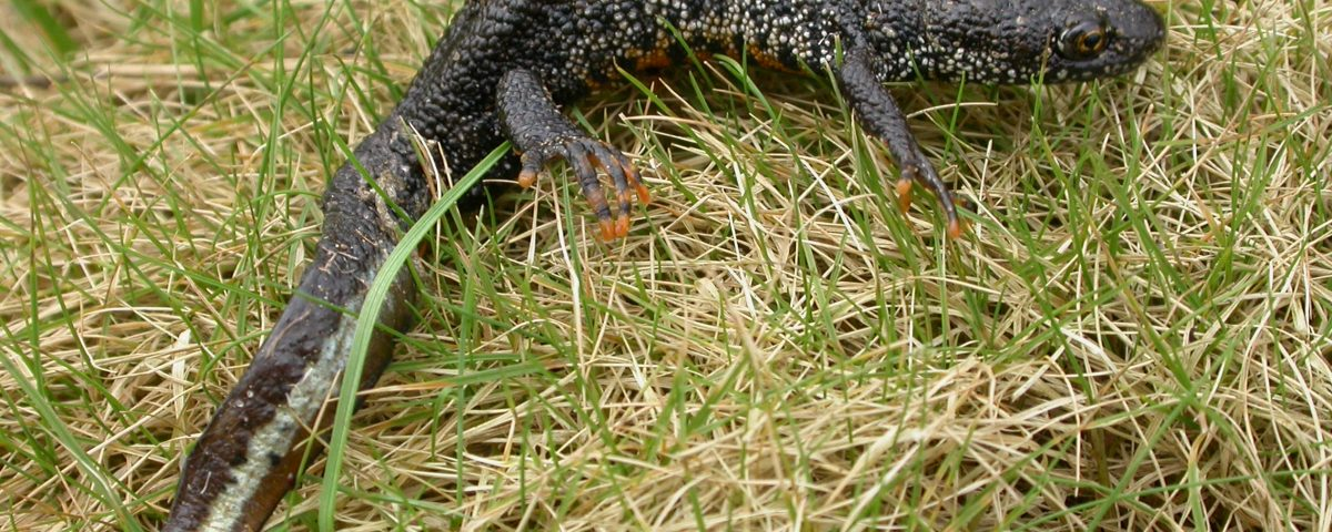 Great Crested Newt by Phillip Precey