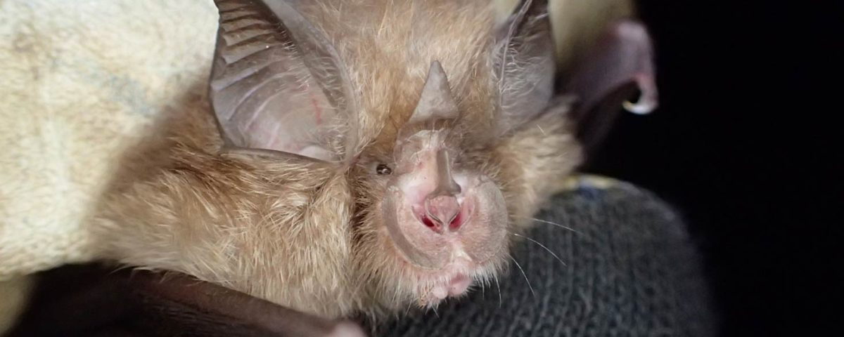 Lesser Horseshoe Bat – Photo Credit: Thomas Foxley