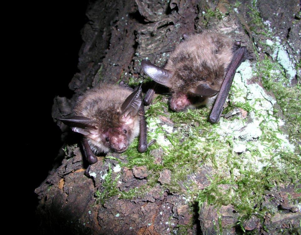 Bechstein Bats